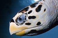 head of hawksbill sea turtle, Eretmochelys imbricata (c)