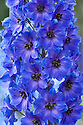 Delphinium 'After Midnight', mid June.