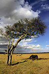 Africa, Kenya, Maasai Mara. A rhino finds shade in the Mara.