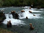 Alaskan brown bears fishing and swimming at Katmai National Park