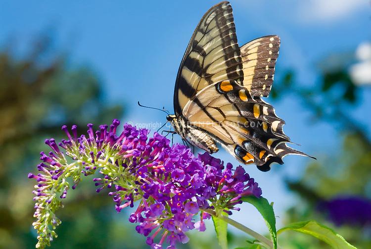 Swallowtail on butterfly bush flower plant flower for Butterfly on flowers