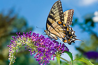 Swallowtail butterfly on Buddleia Buddleja davidii butterfly bush, blue sky