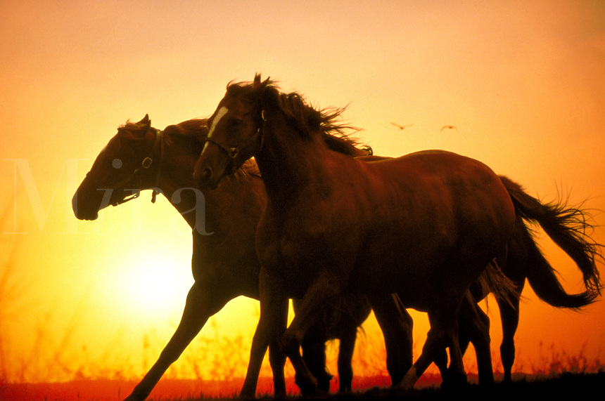 Thoroughbred mares running. Silhouette. Mares in motion power strength. horse, horses, animals.