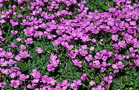 Blaukissen, Griechisches Blaukissen, Aubrieta deltoidea, Aubretia, lilacbush, purple rock cress, rainbow rock cress, purple rock-cress, rainbow rock-cress