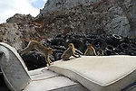 Juvenile Barbary Macaques playing games on pile of mattresses at garbage dump on Rock of Gibraltar.