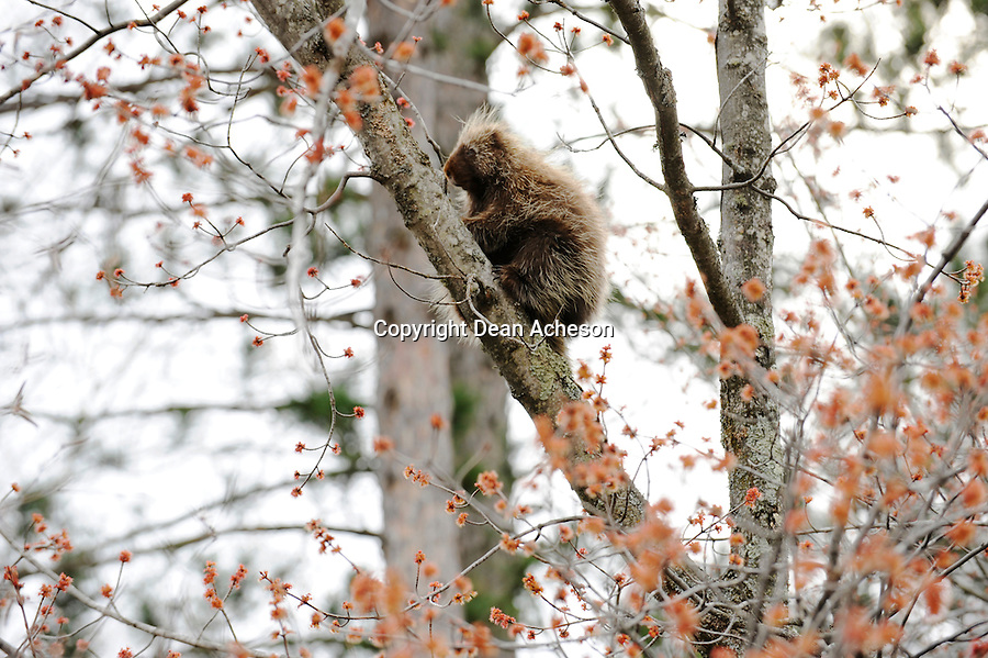 A porcupine on a tree in a northern forest as the leaves bud in the spring. Native Americans used quills from the porcupine to make baskets. Owners of dogs have to be careful not to let their animals come into contact with a porcupine, or risk a visit to a vet.