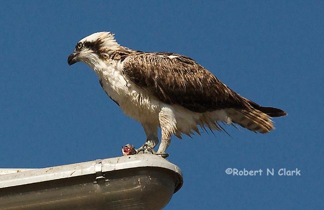 Osprey on light pole