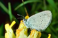 Zwerg-Bläuling, Zwergbläuling, Winziger Bläuling, Cupido minimus, Small Blue, Little Blue, L'Argus frêle, Argus minime, Bläulinge, Lycaenidae, blues