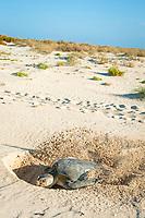 Australian flatback sea turtle, Natator depressus, endemic to Australia and southern New Guinea, female covering nest after laying eggs, Australia