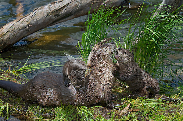 Northern River Otter (Lontra canadensis) family--mother with two pups play on old log along side of pond.  Western U.S., summer..