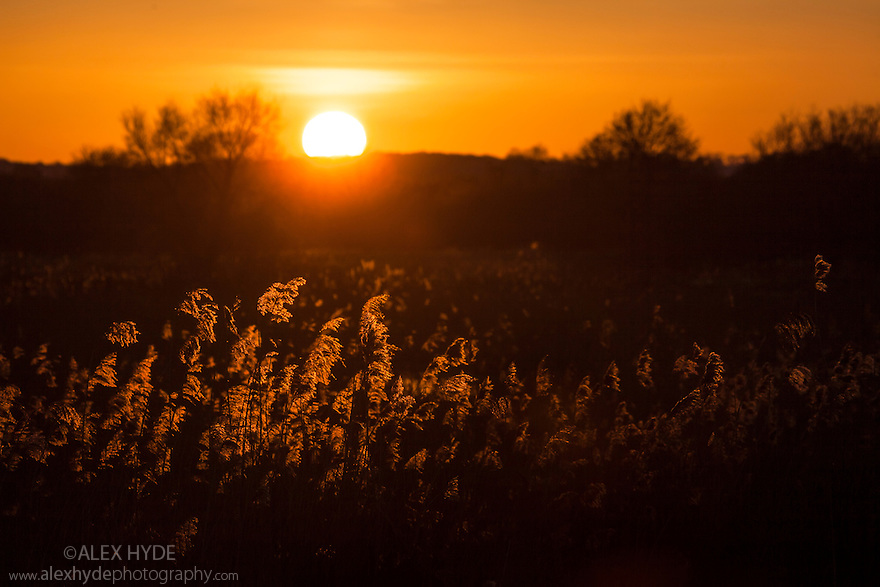 Reed beds at sunset at RSPB Ham Wall reserve, Somerset Levels, UK. February.