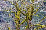 Bigleaf maples (Acer macrophyllum), Columbia River Gorge, Oregon, USA
