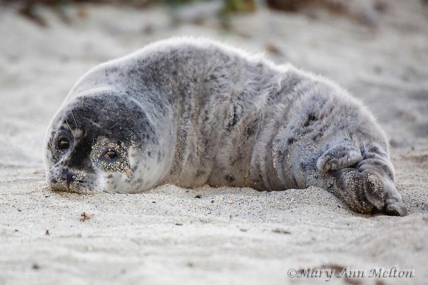 Young seal pup at Children's Pool, La Jolla, California