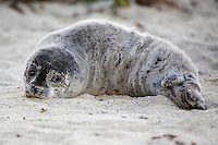 Young seal pup at Children's Pool, La Jolla, California