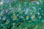 Sergeant major damselfish (Abudefduf vaigiensis), parrotfish and wrasses in the house reef of Miniloc Island Resort. These fish come otgether densely when bread is thrown into the water by staff from the eco-resort.