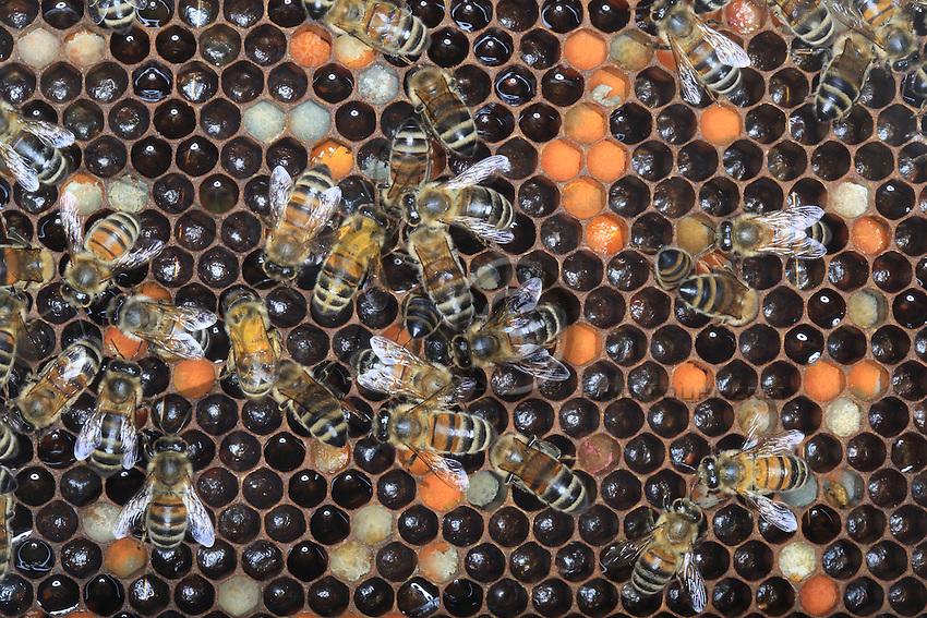 Pollen and honey are stored in the wax cells.///Pollen et miel sont stockés dans les cellules de cire.
