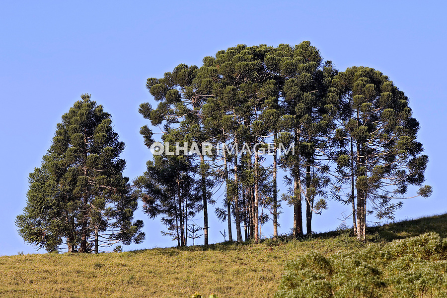 Árvore Araucária. RJ. Foto de João Caldas.