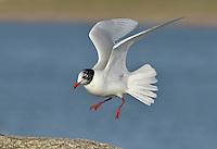 Mediterranean Gull - Larus melanocephalus - coming into breeding plumage