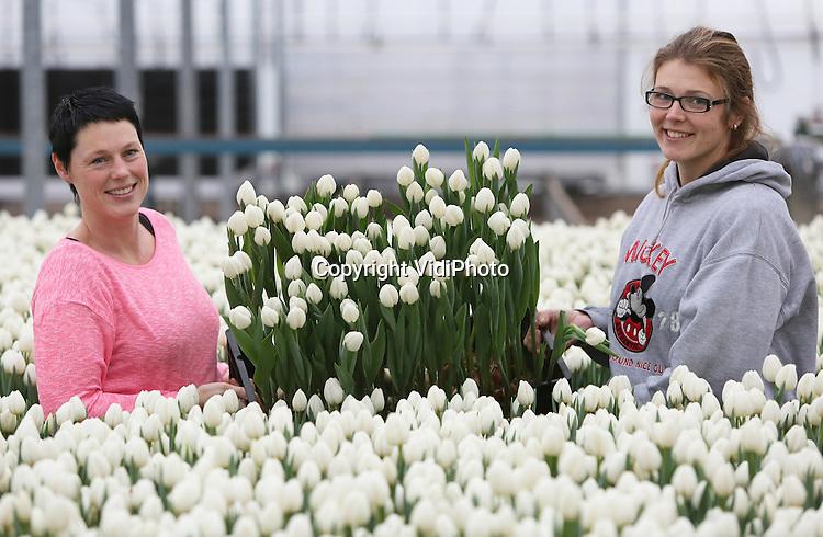Foto: VidiPhoto<br />  <br /> ANDIJK &ndash; In opperbeste stemming hebben medewerkers van tulpenteler Kreuk uit Andijk donderdag hun handen vol aan het gereed maken van 200.000 tulpen in het Noord-Hollandse Andijk. De snijtulpen worden bij diverse Noord-Hollandse bedrijven geselecteerd en ingepakt voor de vijfde editie van de Nationale Tulpendag, aanstaande zaterdag op de Dam in Amsterdam. Om de start van een nieuw tulpenseizoen in te luiden, leggen tulpentelers en vrijwilligers daar in alle vroegte een reusachtige pluktuin aan. De tulpen worden met bloembol in originele kweekbakken neergezet. Zaterdagmiddag mag iedere bezoeker vanaf 13.00 uur gratis een bosje tulpen plukken. Vanwege het EU-voorzitterschap van Nederland staat het unieke, bloeiende tulpenmoza&iuml;ek dit jaar in het teken van Europa. Minister van Buitenlandse Zaken Bert Koenders zal de pluktuin officieel openen. Voorafgaand aan de opening doopt de minister een nieuwe tulp. In totaal worden er meer dan 15.000 bezoekers verwacht en zal het tulpenmoza&iuml;ek om 16.30 uur kaalgeplukt zijn.