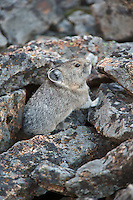 Pica in rock field, Yellowstone National Park, Wyoming