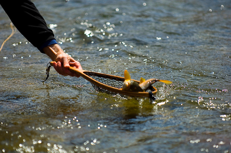 Catch and release trout fishing Green river Utah. Fly fisherman netting a brown trout.