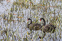 Black swans are a common sight in some parts of Australia.