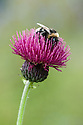 Bee on thistle-like crimson-purple flowerhead of Cirsium rivulare 'Atropurpureum', mid June.