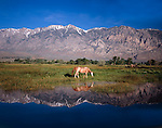 Red roan horse grazing in the Owens Valley, Eastern Sierra, California