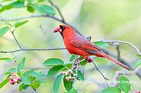 01530-23102 Northern Cardinal (Cardinalis cardinalis) male eating Serviceberry (Amelanchier canadensis) Marion Co. IL