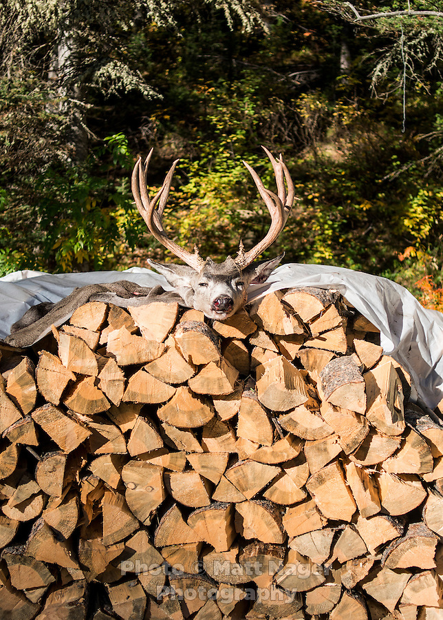 A mule deer cape and scull dry in the sun after a hunt with Trefren Outfitters on Greyback Ridge in the Hoeback Drainage of Wyoming Region H, outside of Alpine, Wyoming, September 22, 2015.<br /> <br /> Photo by Matt Nager