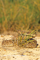 02905-003.16 Western Diamondback Rattlesnake (Crotalus atrox) Starr Co. TX