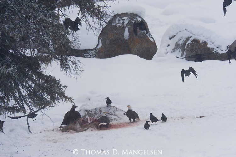 Two bald eagles and a golden eagle scavenge a carcass in Yellowstone National Park, Wyoming.