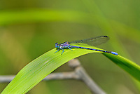 338630012 a wild male springwater dancer argia plana perches on a plant leaf near empire creek las cienegas natural area santa cruz county arizona united states