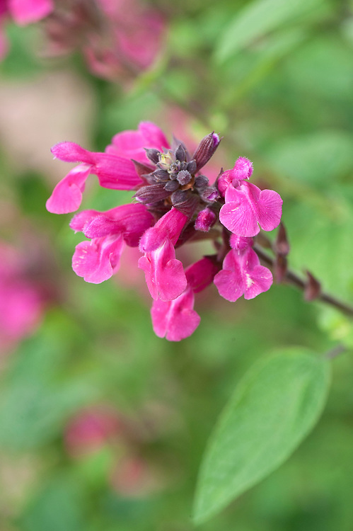 Salvia involucrata 'Joan', early October.