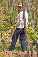 In the vineyard Le Pavillon of M Chapoutier on the Hermitage hill, sandy and pebbly soil. A vineyard worker with a pick clearing weed manually in the vineyard.  Domaine M Chapoutier, Tain l'Hermitage, Drome Drôme, France Europe