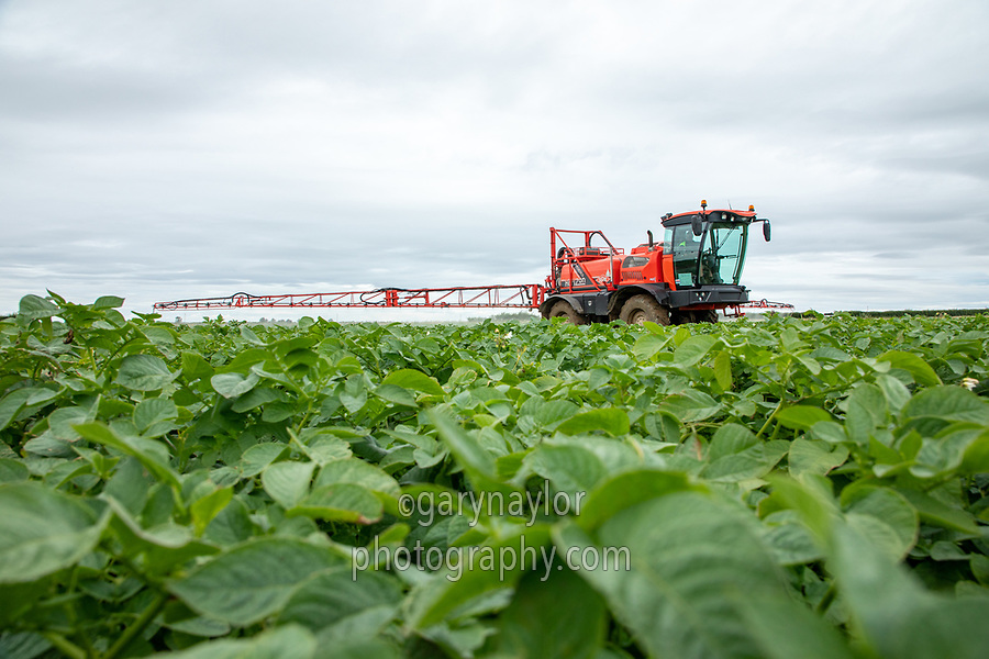 Blight spraying potatoes - Norfolk, July