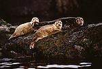 Harbor seals, Vancouver Island, Canada
