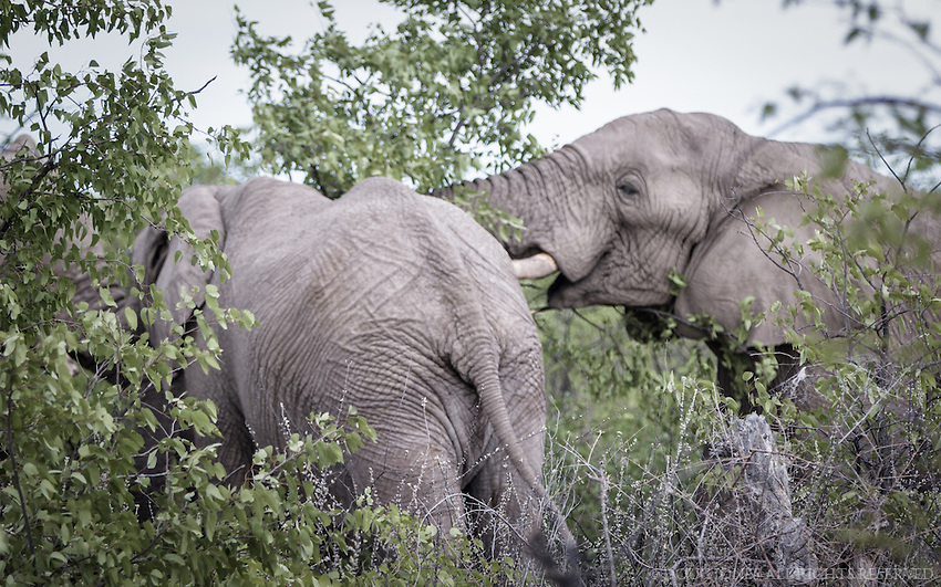 After an hour of following the evidence of this herd in Etosha National Park, we found them feasting on these trees - and playing in between bites - big bites.