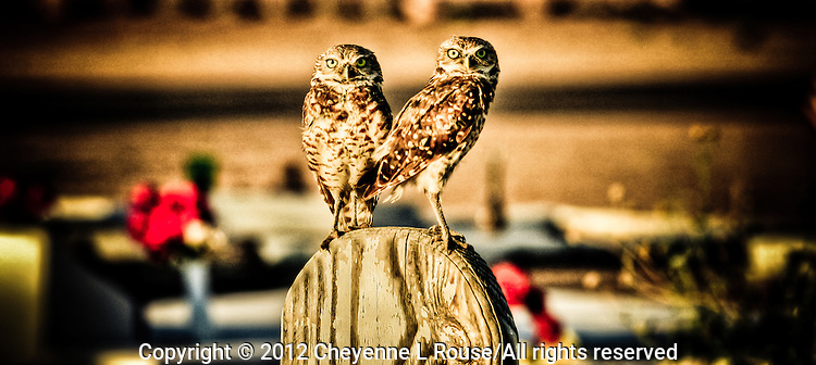 Watchful Owls #1 - Cemetery - Salt River Indian Reservation - Arizona. Burrowing Owls