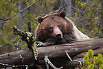 Grizzly bear laying on log. Yellowstone National Park, Wyoming.