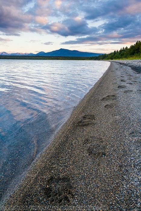 Brown bear tracks along the shore of Naknek lake, Katmai National Park, Alaska.