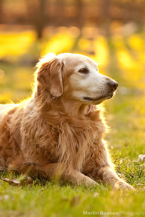 A golden retriever lies in the grass in the early morning