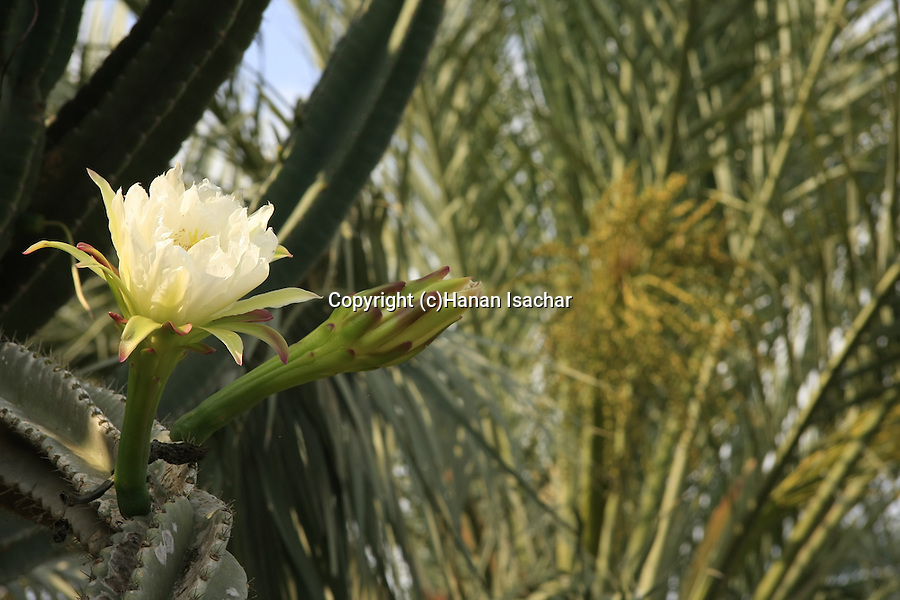 Israel, Carmel Coastal Plain. Cactus flower at Bustan Hacarmel tropical tree garden
