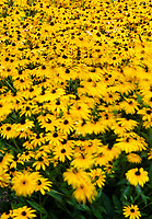 A patch of Black-eyed Susans blow and wave in the wind, Cantigny Gardens, DuPage County, Illinois