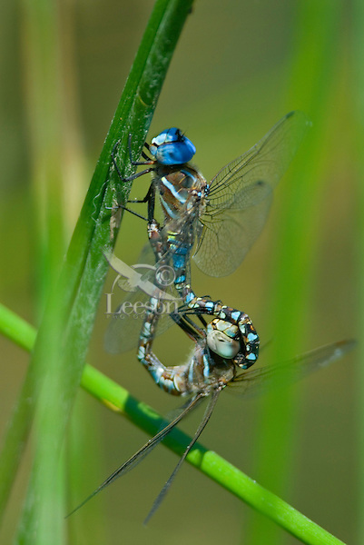 "Blue-eyed Darner (Aeshna multicolor) dragonflies mating--in what is called ""wheel position.""  Pacific Northwest.  Summer."