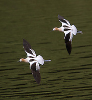 American avocets are occasionally seen migrating through Yellowstone in spring.