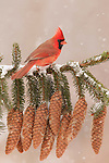 Cardinal and spruce bough