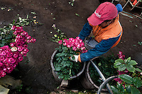 A worker sorts the roses at a flower farm in Cayambe, Ecuador, 23 June 2010. South American countries (Colombia and Ecuador) are world leaders in cut flower industry. The advantage of the moderate sunny climate, very cheap labor force in combination with the absence of social laws and environmental regulations have created perfect conditions for the cut flower production. Flower growing is very fragile and necessarily depends on irrigation and chemical maintenance, provided by highly toxic pesticides. About 50.000 workers in Ecuador, working mainly for living minimum wage, keep the floral industry going and saturate the market generated by consumerist culture the US, Canada and Europe.