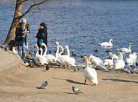 Swans being fed by the Vitava River, Prague, Czech Republic on February 28th to March 3rd 2018<br /> CAP/ROS<br /> &copy;ROS/Capital Pictures