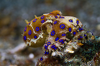 Blue-ringed octopus (Hapalochlaena sp.)